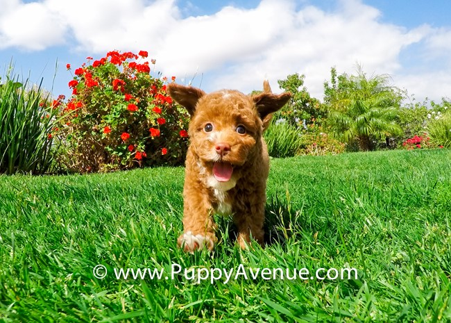 Dior is our Stunning CavaPoo Hybrid Female Puppy 5