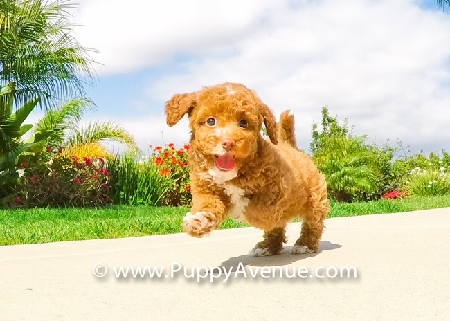 Dior is our Stunning CavaPoo Hybrid Female Puppy 6