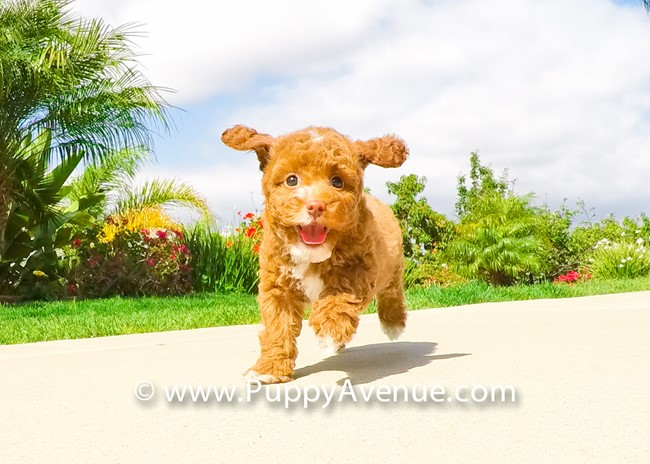 Dior is our Stunning CavaPoo Hybrid Female Puppy 7