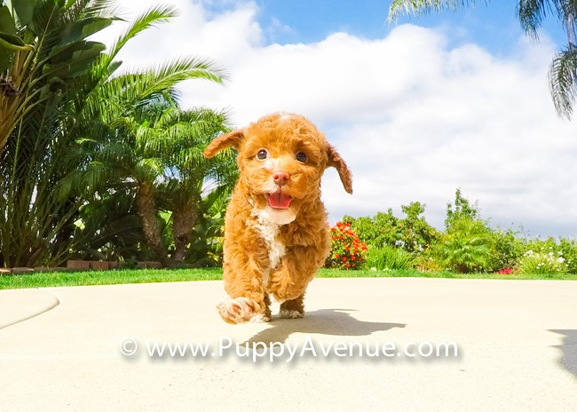 Dior is our Stunning CavaPoo Hybrid Female Puppy 8