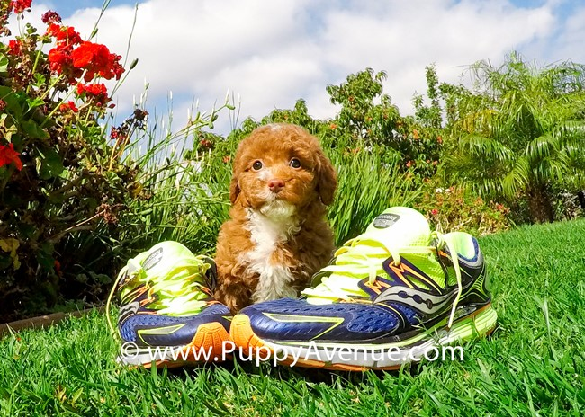 Dior is our Stunning CavaPoo Hybrid Female Puppy 9