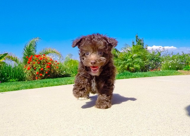 Prince is our Perfect Malti-Poo Hybrid Male Puppy