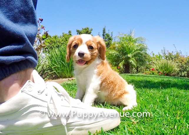 Gracie is our Adorable AKC Cavalier King Charles Spaniel