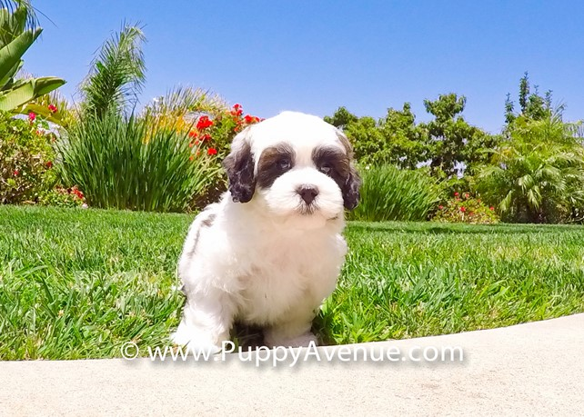 Scout is our Teddy Bear Mal-Shih Hybrid Male Puppy