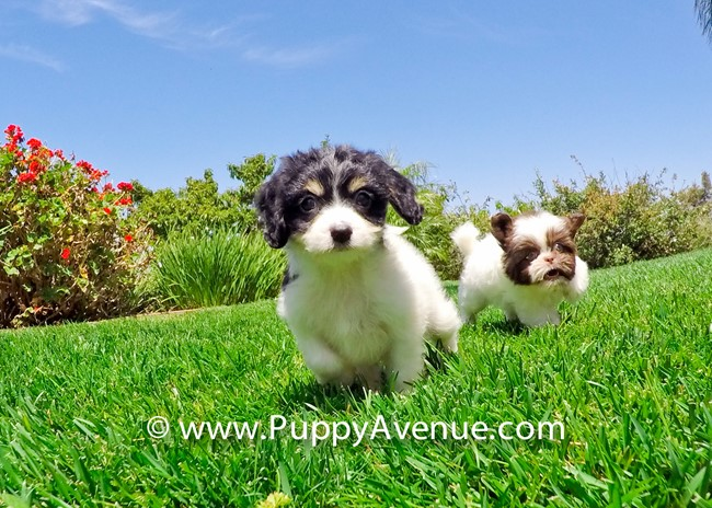 Princess is our Super Cute Cavachon Hybrid Female 10