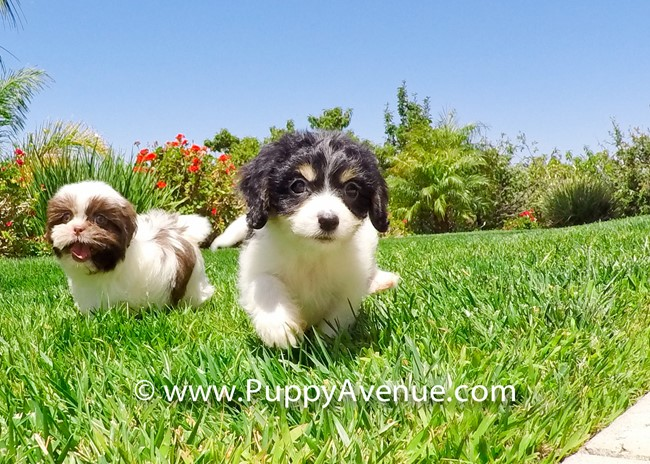 Princess is our Super Cute Cavachon Hybrid Female 4