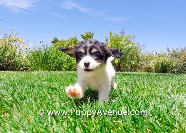 Princess is our Super Cute Cavachon Hybrid Female 5