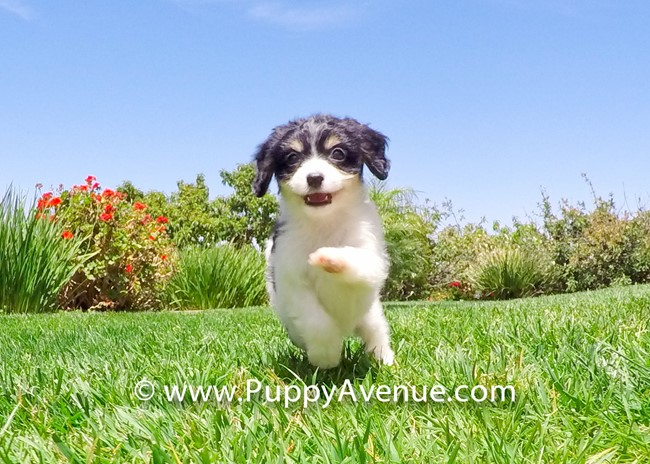 Princess is our Super Cute Cavachon Hybrid Female 7