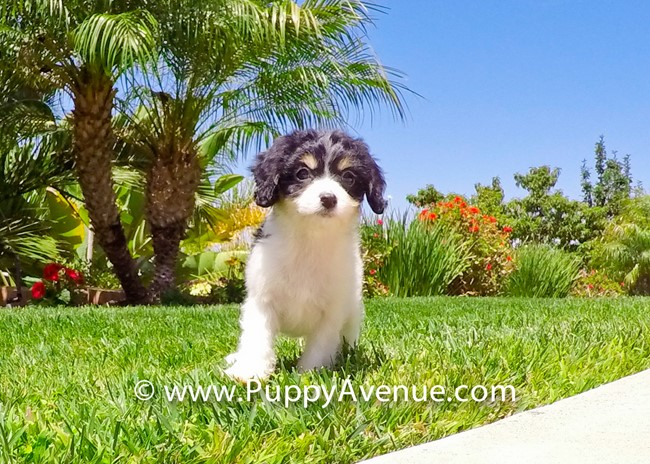 Princess is our Super Cute Cavachon Hybrid Female 1