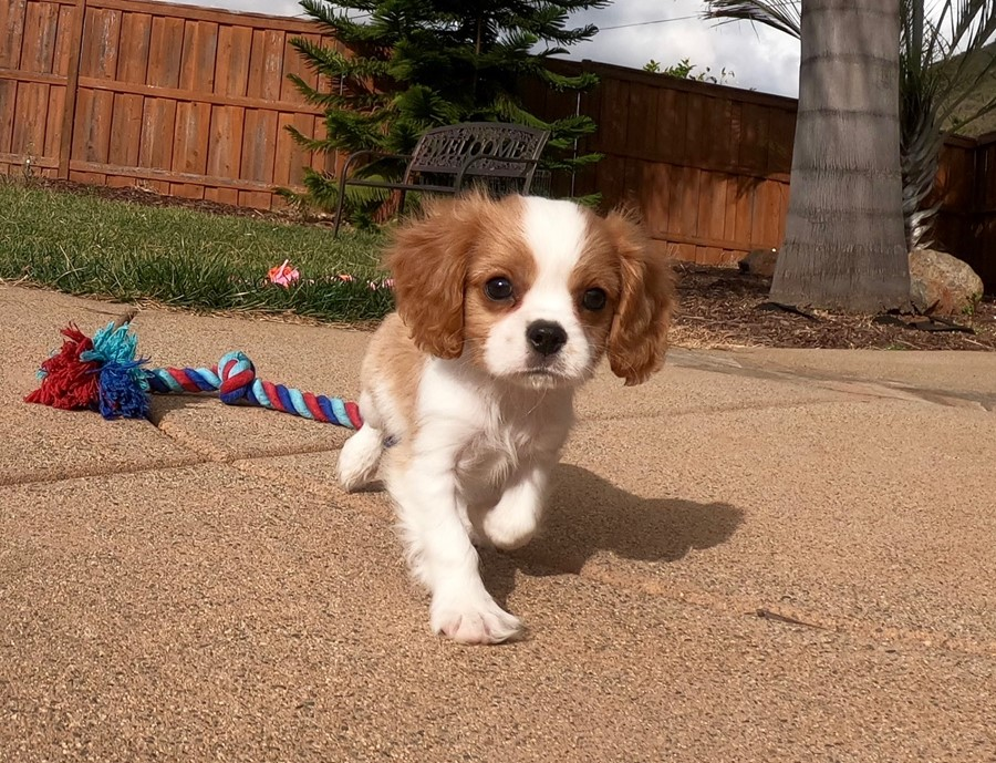 PERFECT male AKC Cavalier puppy!!! 11