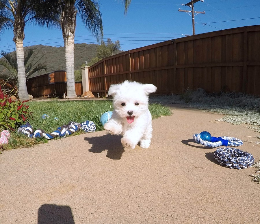 PERFECT Male ACA  Maltese puppy!! 8