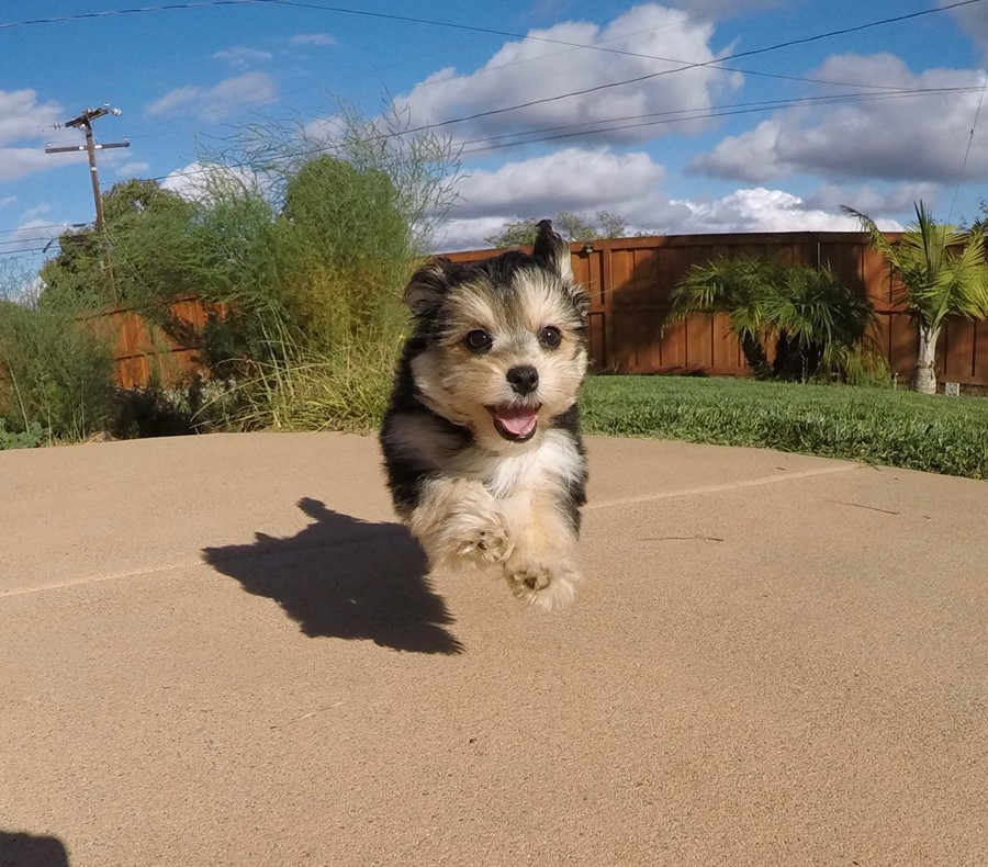Super cute female Morkie Puppy!! 1