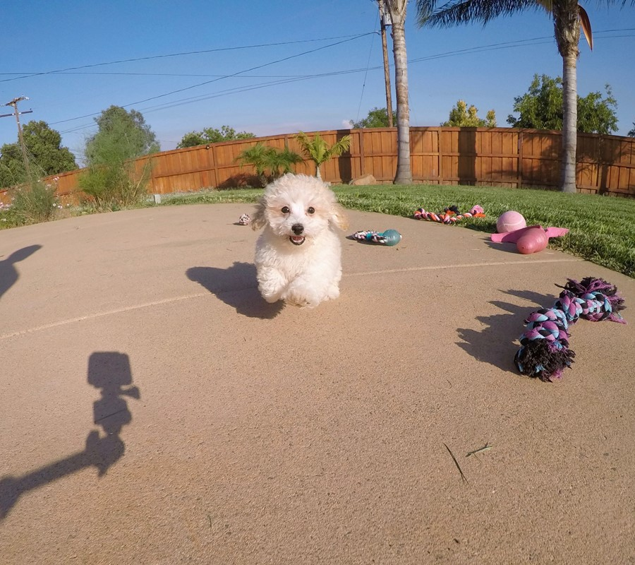 Adorable MaltiPoo designer puppy! 3