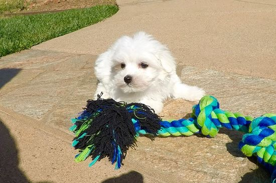 Male ACA Maltese puppy!! - 9 week old Maltese