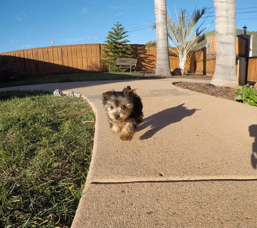 PERFECT male ACA Yorkie puppy!! 10