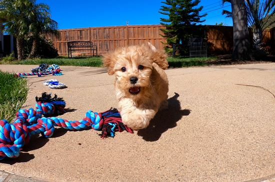 PERFECT male CavaPoo puppy! - 10 week old Cava Poo