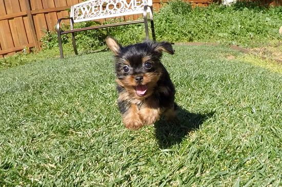 Male Yorkshire Terrier puppy !! - 11 week old Yorkshire Terrier