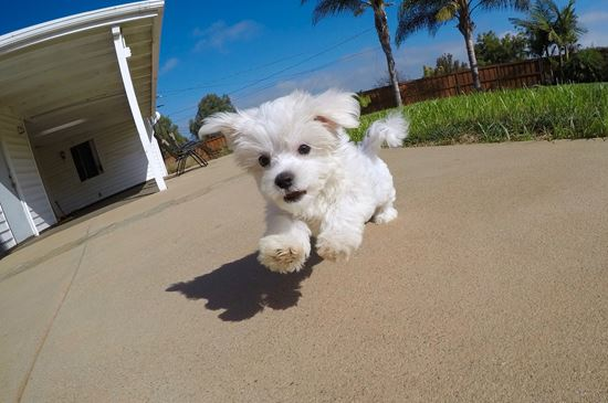 PERFECT Female ACA Maltese Puppy!!! - 14 week old Maltese