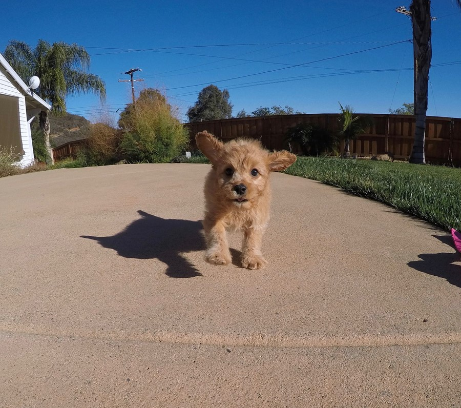Stunning male Cavapoo puppy !! 8