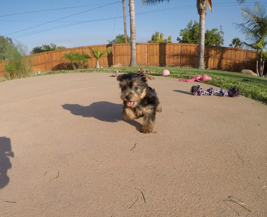 PERFECT female AKC Yorkie puppy! 10