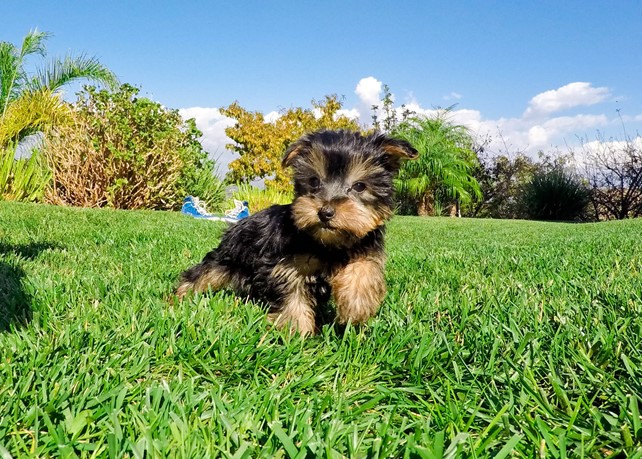 Axel is our Super Handsome Yorkie Male Puppy
