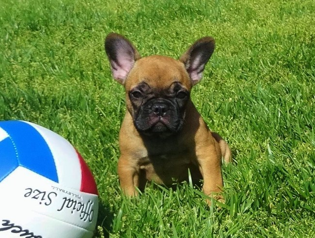 Soleil is our Gorgeous Female AKC Frenchie Puppy! 7