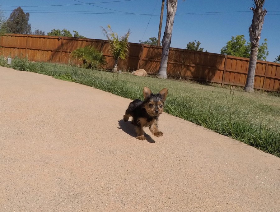 SUPER TINY female Yorkie puppy! 4