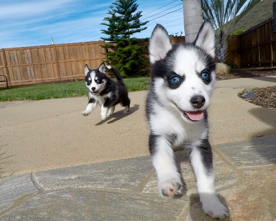 BLUE EYED female Pomsky puppy! 10