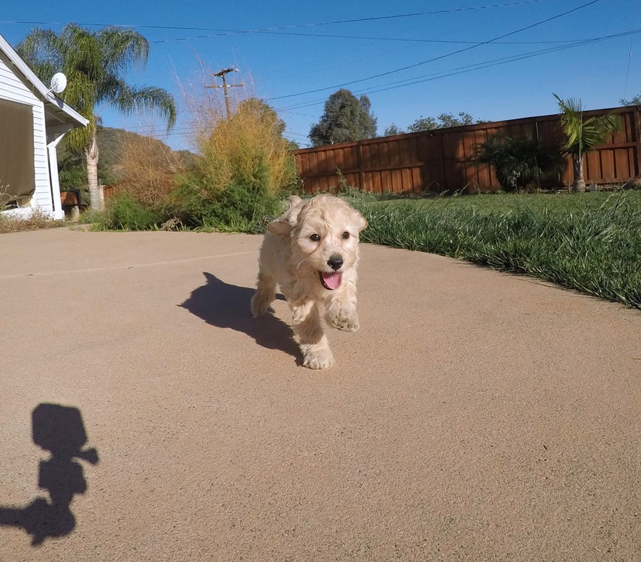 Male Mini Goldendoodle puppy !! 5