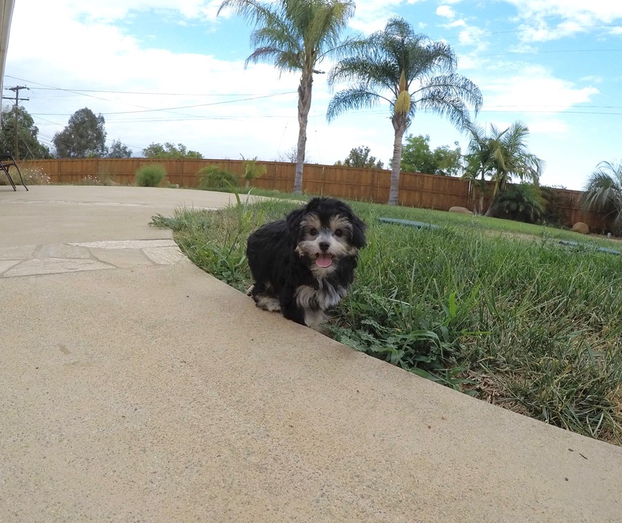 Female YorkiePoo designer puppy! 2