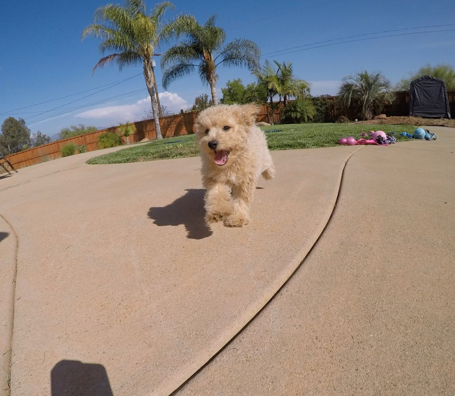 Super cute Male CavaPoo Puppy!! 3