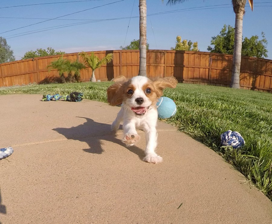 PERFECT male AKC Cavalier puppy! 1