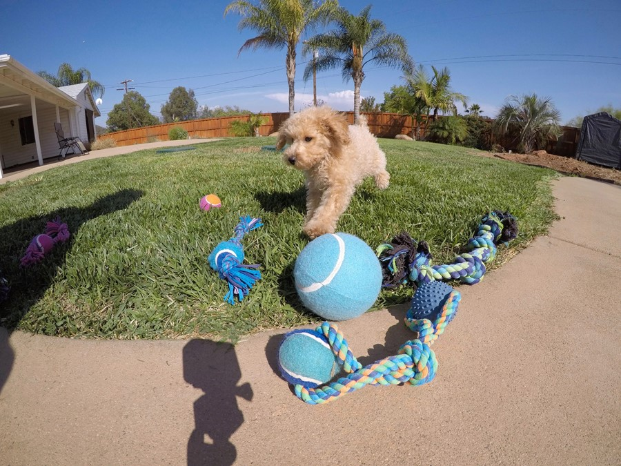 Super cute Male CavaPoo Puppy!! 10