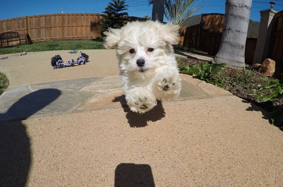 Adorable female MaltiPoo puppy!!! - 13 week old malti poo
