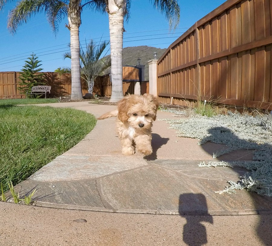 Super Cute Female CavaPoo Puppy! 4