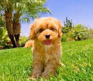 Cava Poo Puppies For Sale In San Diego Southern California
