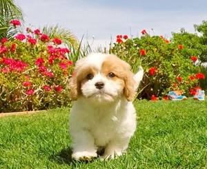 cavachon puppies for sale cavachon dogs breeder akc