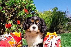 Opinion Adult cavalier king charles spaniels for sale