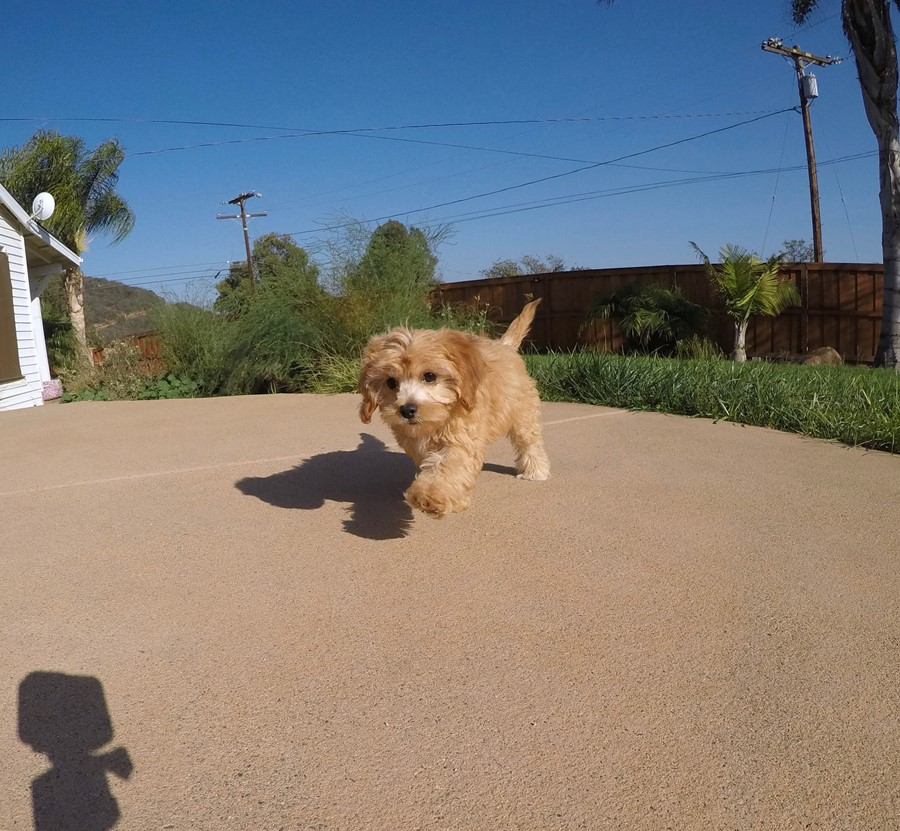 Super Cute Female CavaPoo Puppy! 5