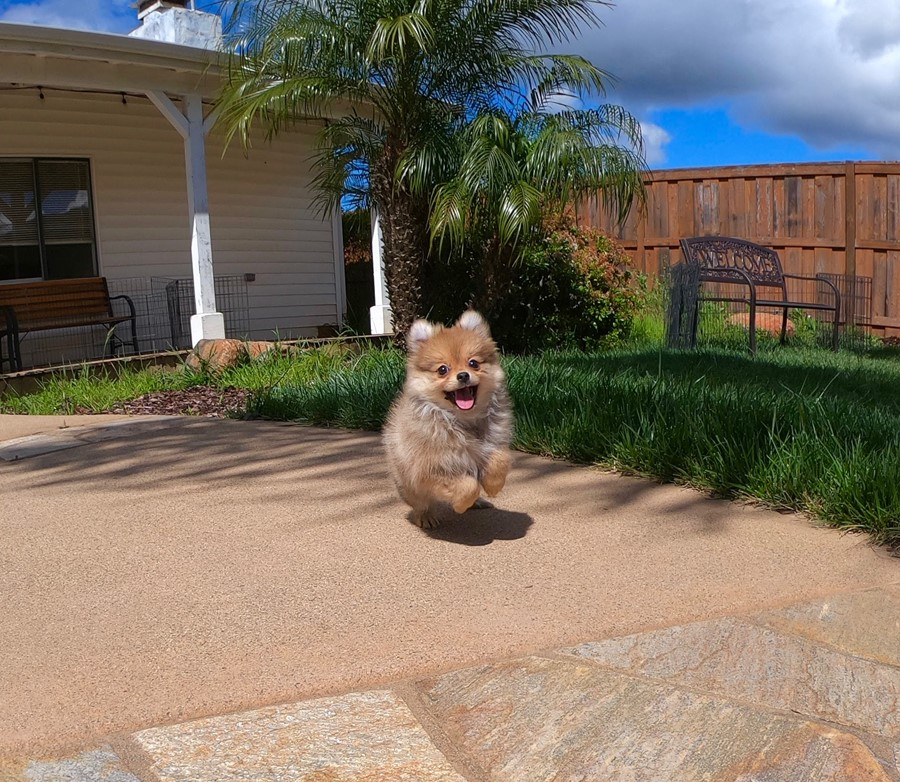 Super cute Pomeranian puppy !!! 6