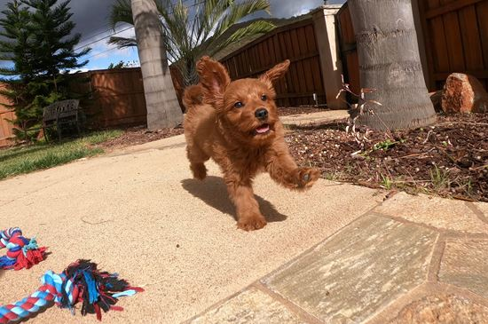Male Mini GoldenDoodle puppy!! - 22 week old Mini Goldendoodle
