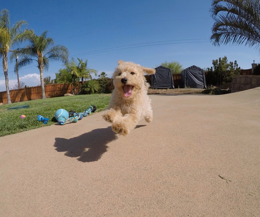 Super cute Male CavaPoo Puppy!! 4