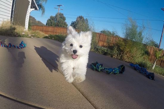 PERFECT Male ACA  Maltese puppy!! - 39 week old Maltese