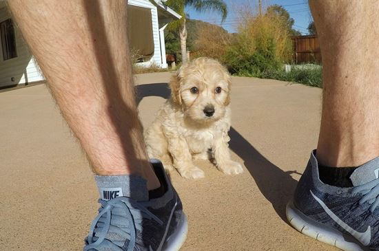 Male Mini Goldendoodle puppy !! - 62 week old Mini Goldendoodle