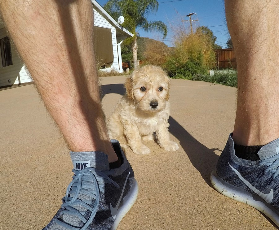 Male Mini Goldendoodle puppy !! 1