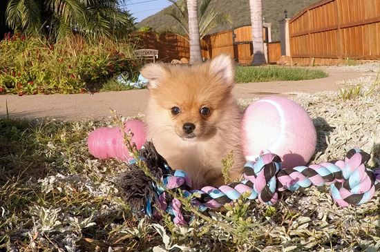 pomeranian san diego pomeranian puppies for sale in california pom pups for 8748