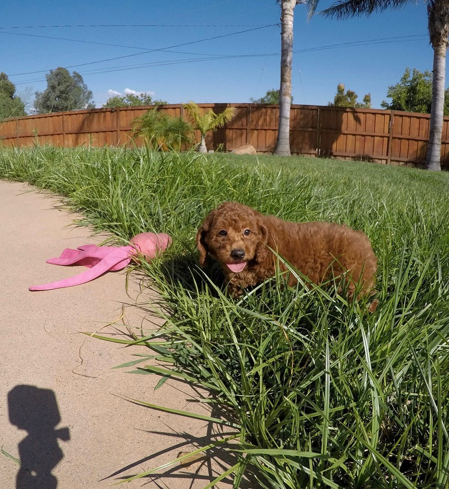 PERFECT Mini GoldenDoodle puppy! 6