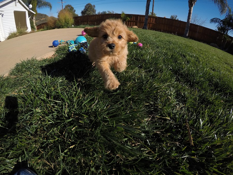 Stunning male Cavapoo puppy !! 11