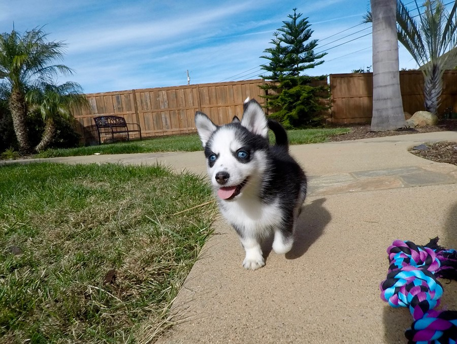 BLUE EYED female Pomsky puppy! 7
