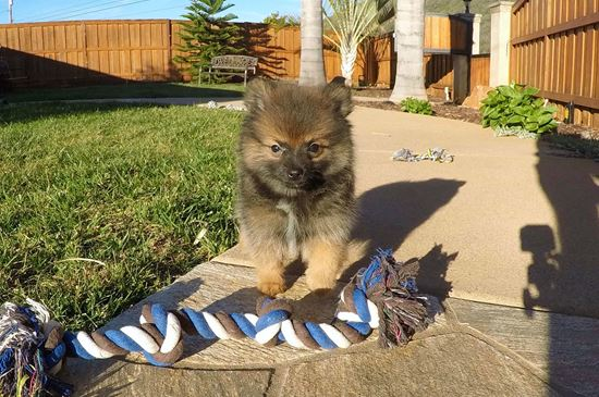 pomeranian san diego pomeranian puppies for sale in california pom pups for 1762